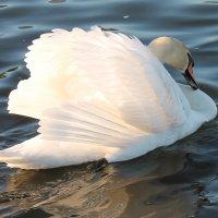 лебедь :: КАТЕРИНА ЖДАНОВИЧ