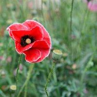 Аленький цветочек. :: Геннадий Оробей