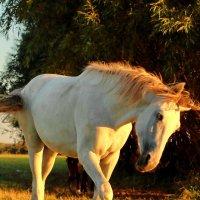 Лошадь заигрывает :: Владимир Гришин