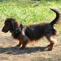 Чужая собака :: Александра Невзорова