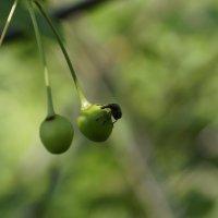 зеленая вишня :: Елена Загитова