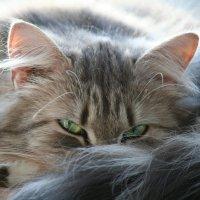 кошка ТИШКА :: ВЛАДИМИР