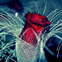 Роза :: Екатерина Бондарь