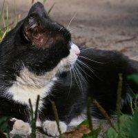 Чёрно-белый кот :: Светлана Ляшко