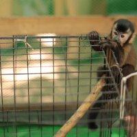 маленькая обезьянка :: Булат .
