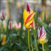 Яркие тюльпаны весны :: Алексей Соминский