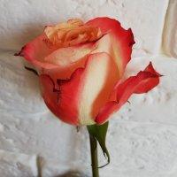 Роза :: Жанна Ким