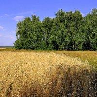 Пшеничные поля. :: Анатолий Анищик