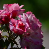 Розы :: Tim Andrews