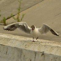 Озёрная чайка :: Солоненко Лидия