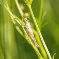 В траве сидел кузнечик, совсем, как огуречик, зелёненький он был... :: Елена Верховская