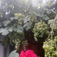 Красавица роза и виноград. :: Нина Акарцева