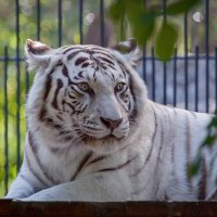 Бенгальский тигр :: Владимир Габов