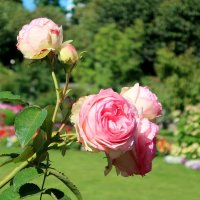 Розовый август :: Ирина Фирсова