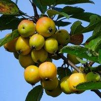 Райские яблочки :: Милешкин Владимир Алексеевич