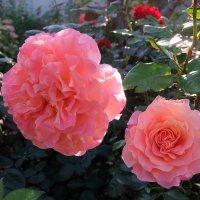 Наполнив ароматом воздух, благоухают нежно розы и разговор ведут с душой. :: Люба