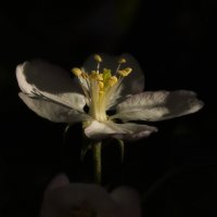 Нежность цветка. Весеннее цветение. :: Олег Фролов