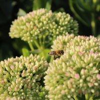 Пчелка :: Татьяна Са