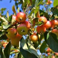 Райские яблочки :: Константин Анисимов