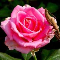Поклонник розы... :: Тамара (st.tamara)
