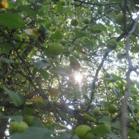 дикие яблоки :: Maikl Smit