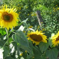 Подсолнухи - осколки солнечного дня... :: Дмитрий Никитин