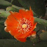 Цветок кактуса :: kuta75 оля оля