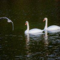 Лебеди в Сормовском парке :: Алексей Медведев