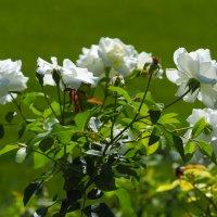 Белые розы :: Swetlana V