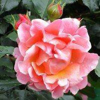 Розы - Ангелов творенье! :: olgadon Довженко