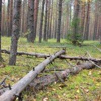 Тихо в лесу... :: Александр Широнин