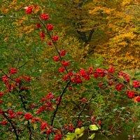 Красные ягоды :: Сергей Карачин