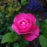 Мини-роза в саду :: Пётр Сесекин