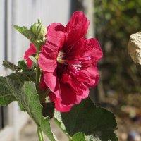 Цветы у мальвы могут быть как простыми, так и махровыми или полумахровыми :: Татьяна Смоляниченко