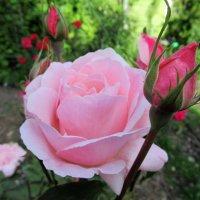 Роза :: Елена Павлова (Смолова)