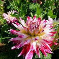 Георгины Ботанического сада :: Лидия Бусурина