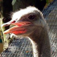 А вы знаете, что у страуса мозг меньше размера глаза? :: Ольга И