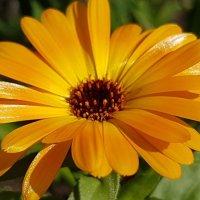 Цветок календулы :: Tatjana