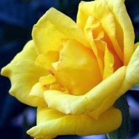 Роза жёлтая. :: Валерьян Запорожченко
