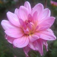 Цветы сентября :: Елена Семигина