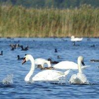 лебеди на отдыхе :: ИННА