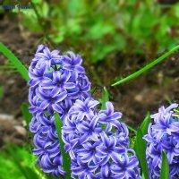Синие, кудрявые, молодые :: Daria Vorons
