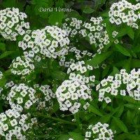 Снежки по-цветочному :: Daria Vorons