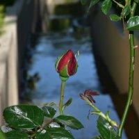 Роза в парке :: Cissa Andebo