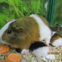 Морская свинка с малышами. :: Зинаида