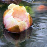 Русалочьим цветком нимфею называли.... :: Гала