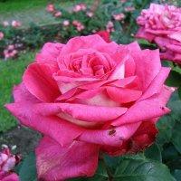 Роза Ботанического сада :: Лидия Бусурина