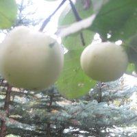 яблоки :: Maikl Smit