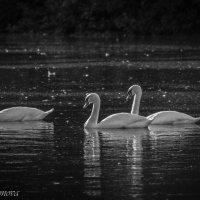 Лебеди :: Екатерина Харитонова