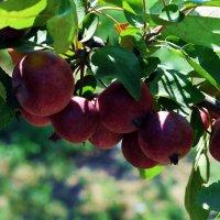 Яблочное изобилие :: Татьяна Ларионова